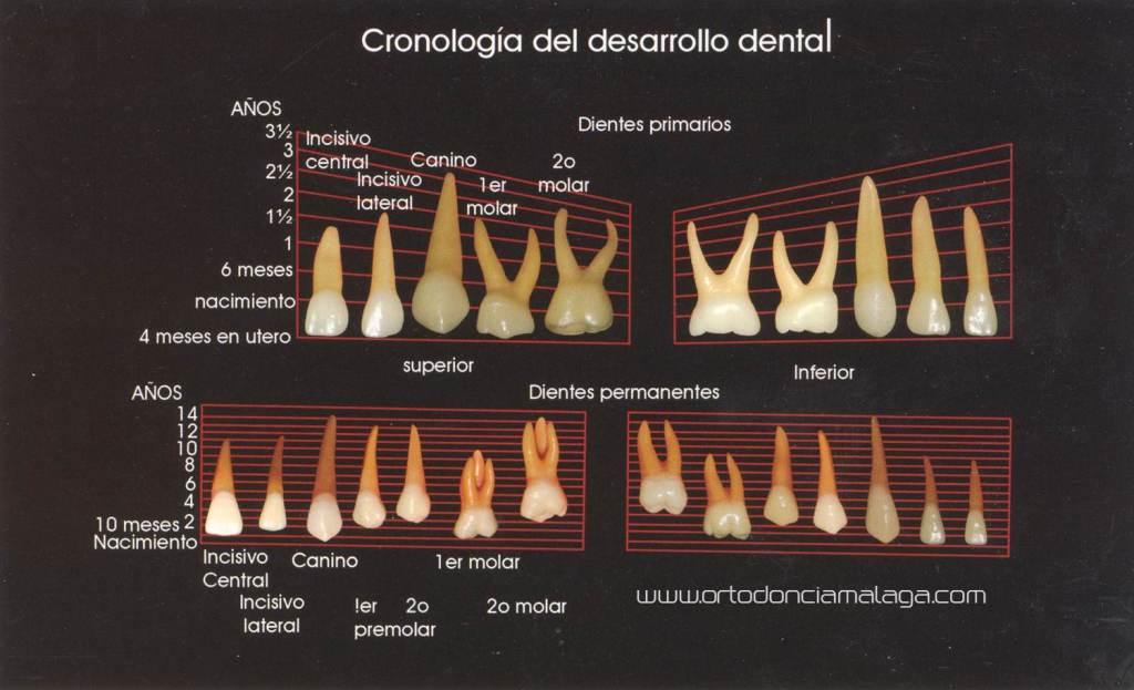 Ortodoncia Málaga Cronología Erupción Dental
